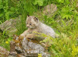 Alaskan Lynx Kitten