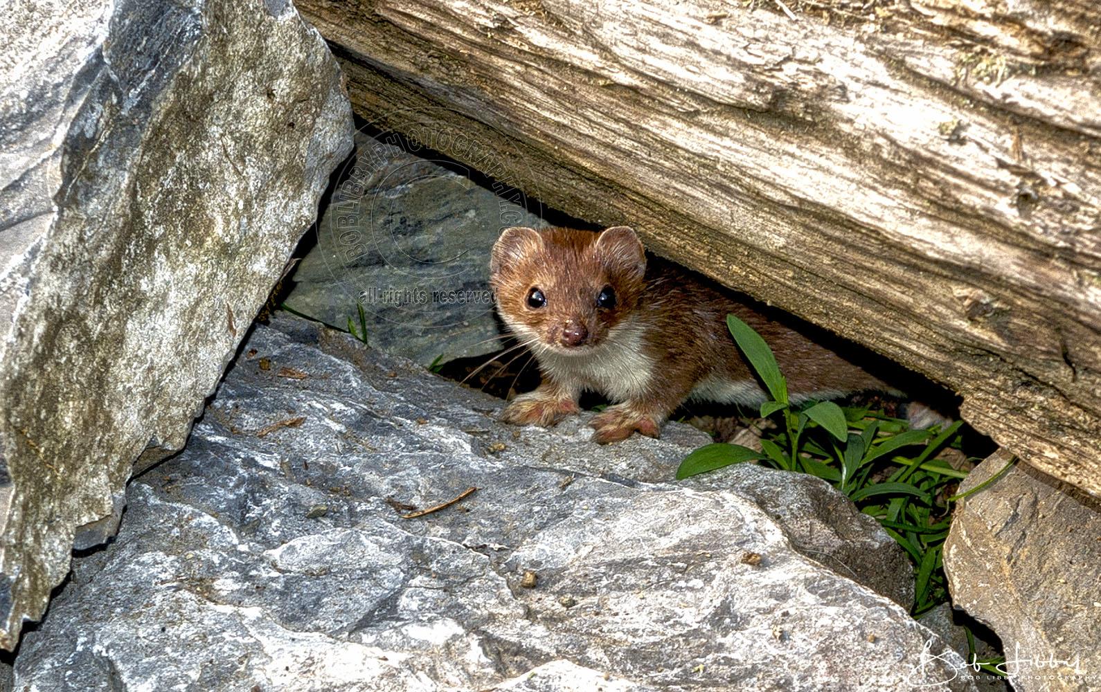 Small Alaskan Weasel