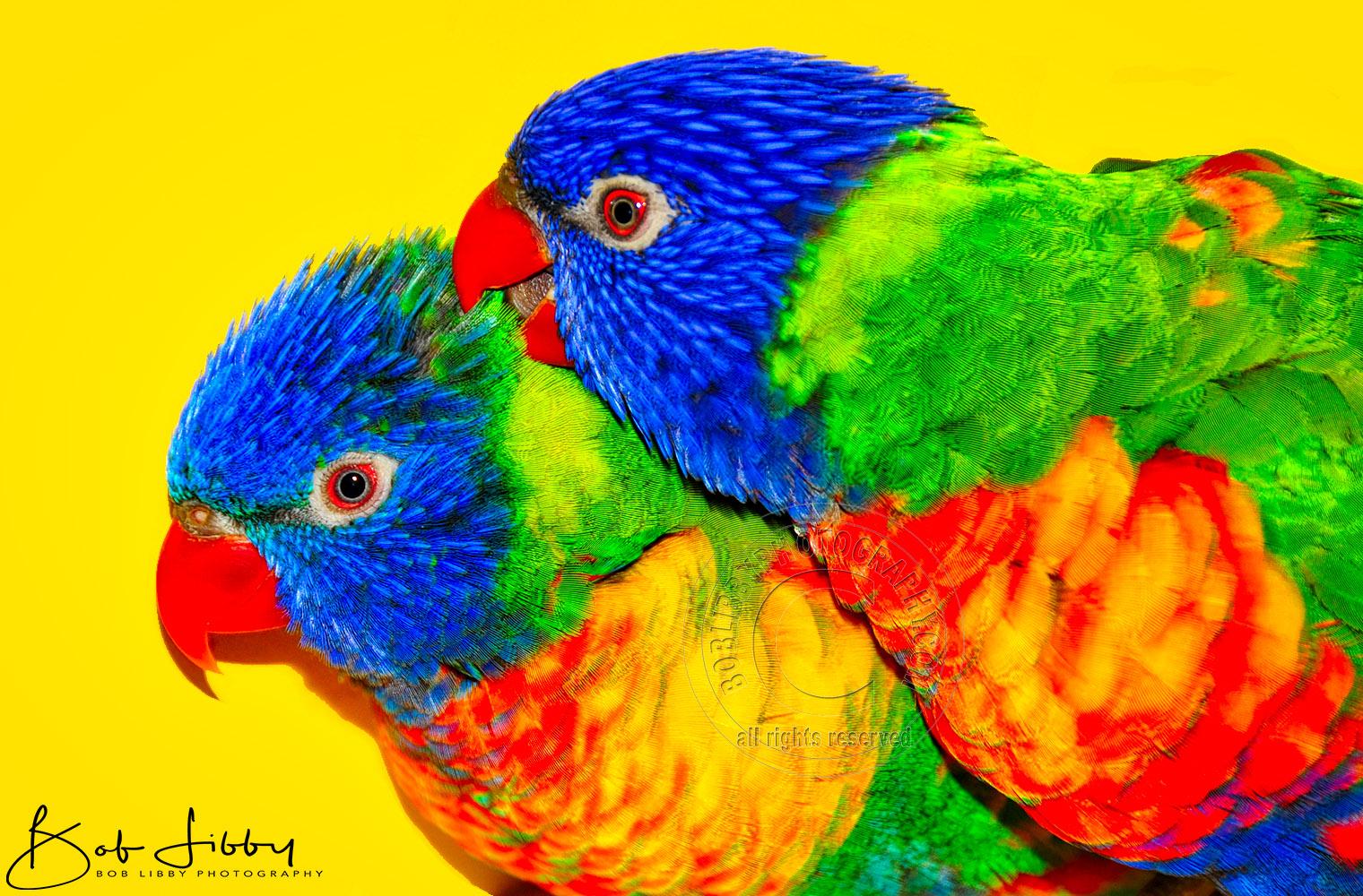 Two Rainbow Loriketts